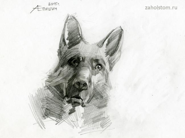 Как рисовать собаку_Рисунок немецкой овчарки_Художник Алексей Епишин