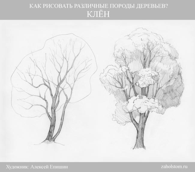 001 Как рисовать различные породы деревьев. Клен