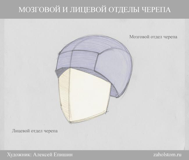 002 Как рисовать портрет. Мозговой и лицевой отделы черепа