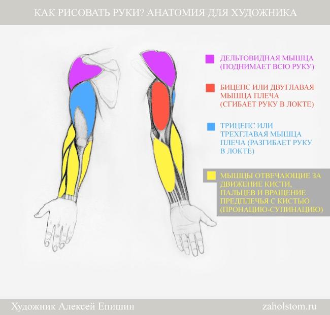 002 Как рисовать руки. Анатомия для художника