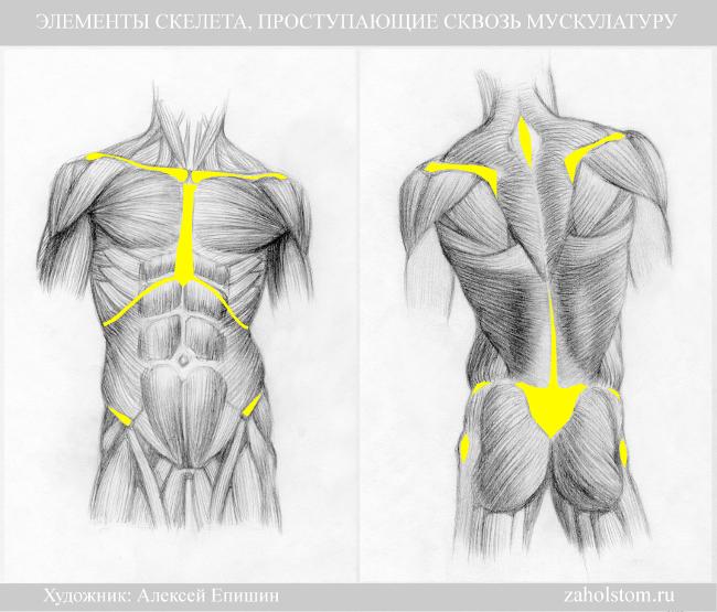 002 Элементы скелета проступающие сквозь мускулатуру