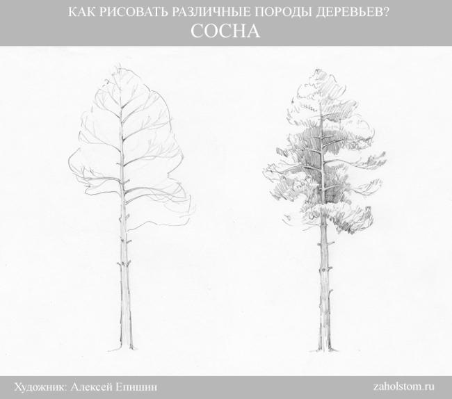003 Как рисовать различные породы деревьев. Сосна