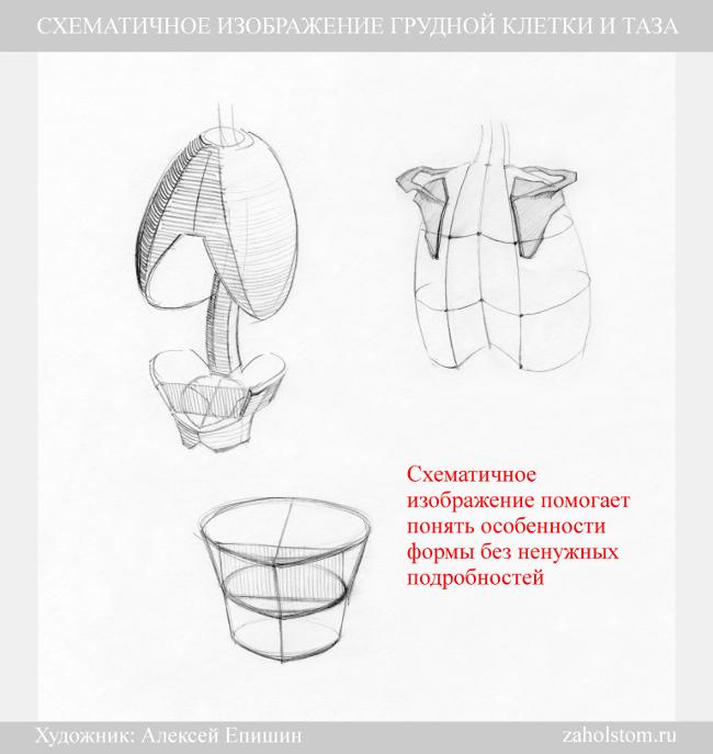 004 Схематичное изображение грудной клетки и таза