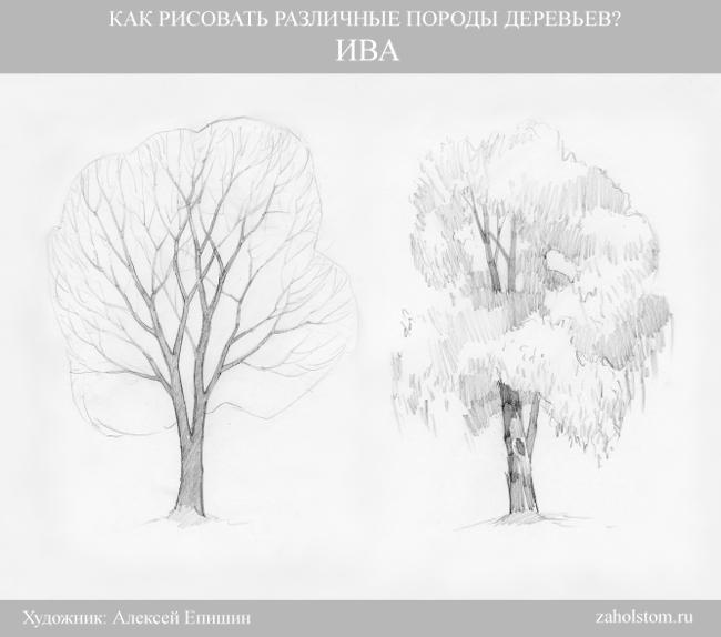 005 Как рисовать различные породы деревьев. Ива