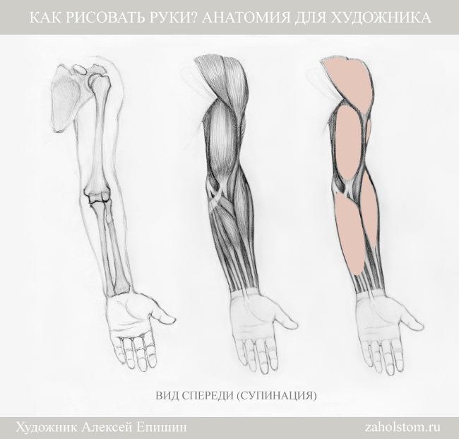 005 Как рисовать руки. Анатомия для художника