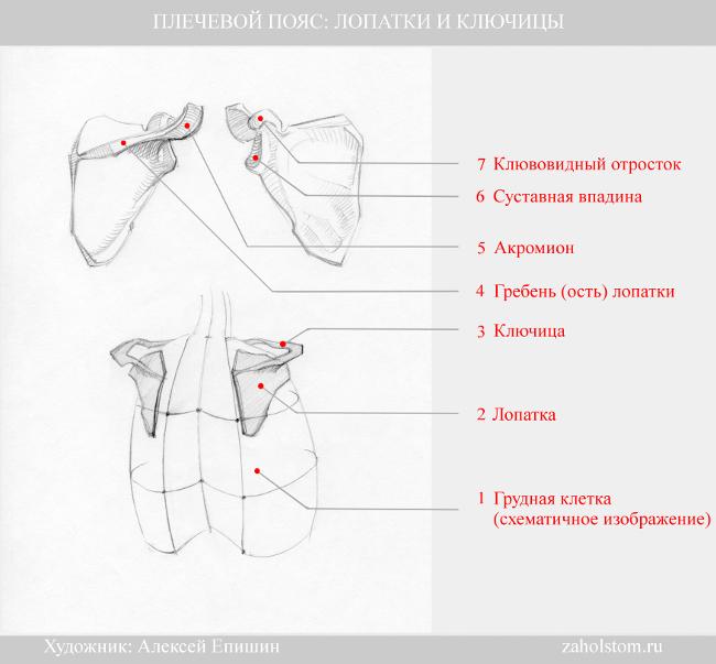 005 Плечевой пояс_лопатки и ключицы