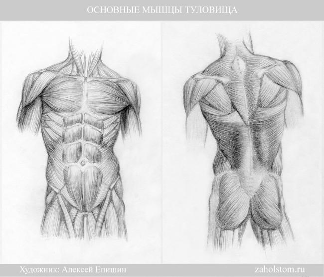 006 Основные мышцы туловища