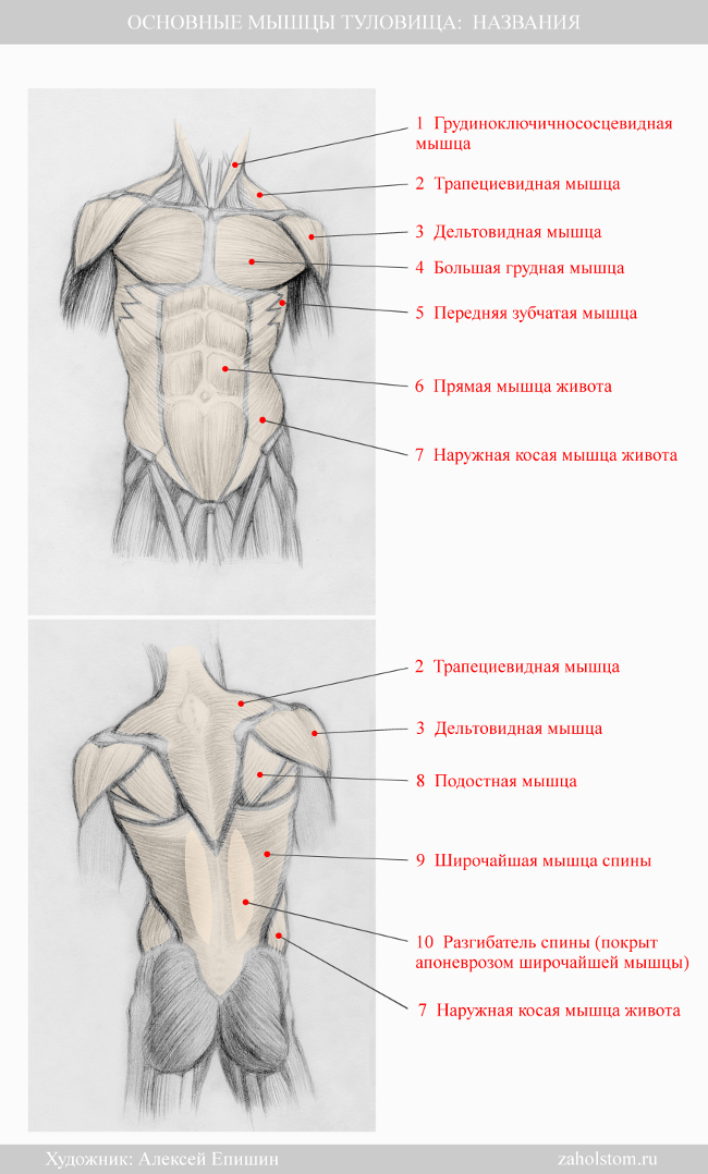 007 Основные мышцы туловища_ Названия