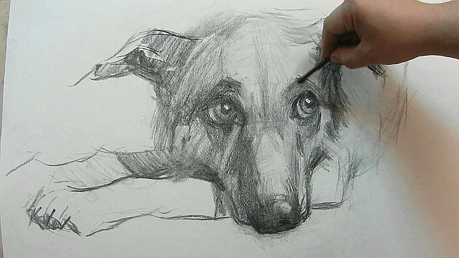 010 Взгляд молчаливого пса. Рисунок углем