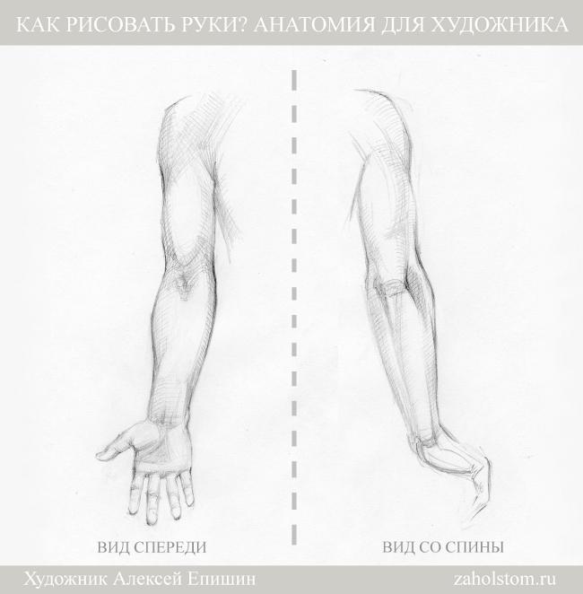 Анатомия человека схема для художников